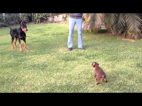 Small puppy Picks Fight With Big Dog