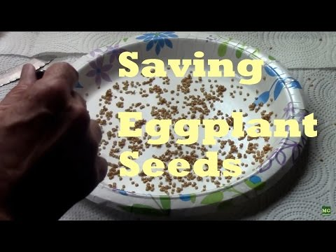 Harvesting and Saving Eggplant Seeds. Easy to DIY in minutes.