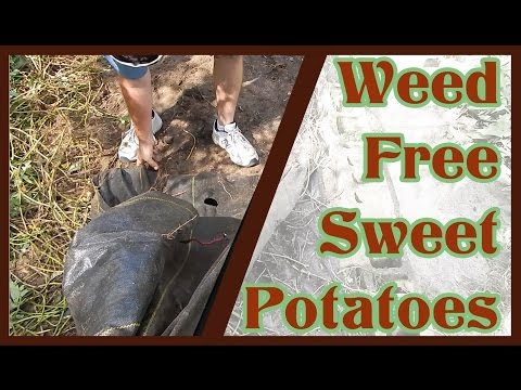Weed-Free Sweet Potatoes / Boniato from an Experimental Garden Bed