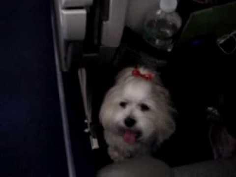 Travel with dog. Wall-e (International flight)