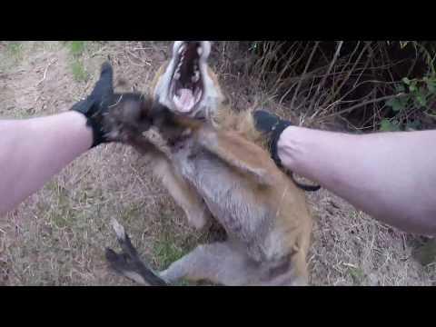 Howth Dog Attack FOX