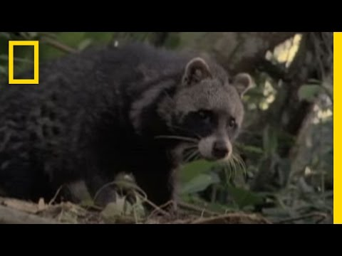 Cat, Raccoon, or Neither? | National Geographic