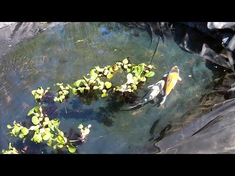 Koi Pairing For Spring Spawn