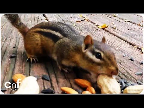 Cute Little Chipmunk Stuffs His Little Cheeks