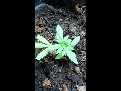 Mini Grow com 185w lampada flc ,Duas tecnicas de controle de crescimento das Plantas