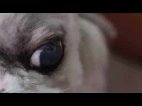 Dry eye in a Shih Tzu