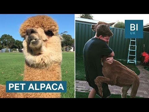 Australian boy and his pet alpaca are inseparable