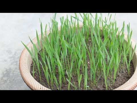 GROW YOUR OWN WHEATGRASS | Wheatgrass is Good for Acne Prone Skin