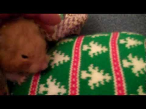 Is your Syrian Hamster dead? IT MAY NOT BE, It may be hibernating, how to bring back to life PART1