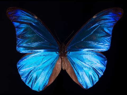 What Gives the Morpho Butterfly Its Magnificent Blue? | Deep Look