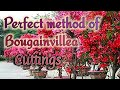 Make Cuttings of Bougainvillea with 100 % Success.