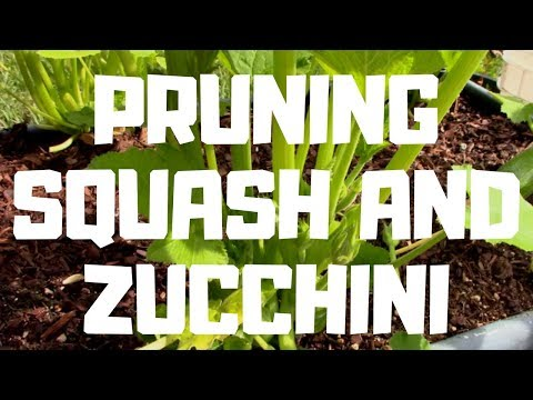Pruning Squash and Zucchini