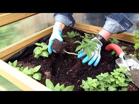 How to Plant a Tomato with a Trench Technique