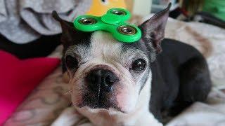 Dog + FIDGET SPINNER! haha I'M Dog-Sitting!