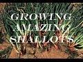 Growing And Harvesting Huge Bulbs - Shallots mp3