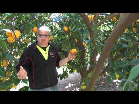 Navel orange pruning with Darren Minter Part 2