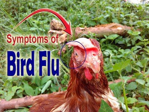 Avian Bird Flu, Bird flu symptoms in chickens, Symptoms of bird flu in chickens, POULTRY DISEASES