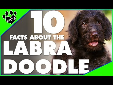 Designer Dogs 101: 10 Labradoodle Facts Hybrid Breed - Animal Facts