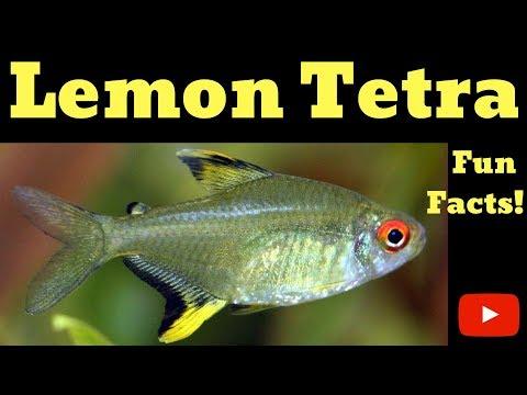 Lemon Tetra Fun Facts