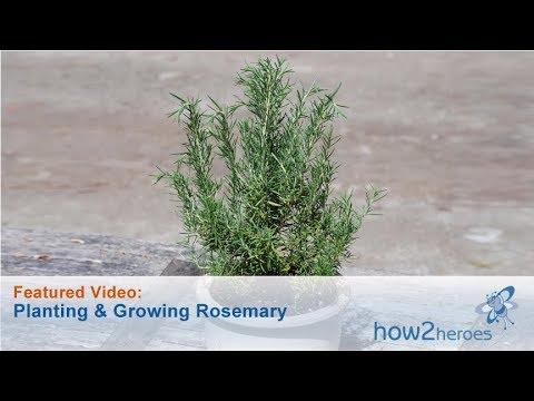Planting & Growing Rosemary