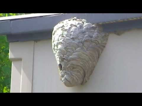 How to terminate hornets and wasps - part 1
