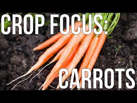 HOW TO GROW ORGANIC CARROTS
