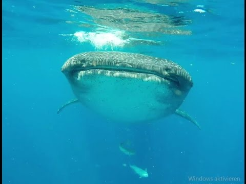 Adventures under water in Mexico & Belize (Diving, Snorkeling, Whale shark, Manatee)