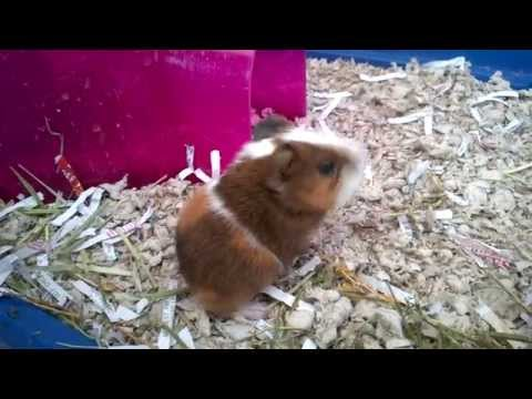 Baby Guinea Pigs!