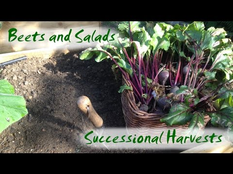 Successional Harvests - Beetroot and Salads