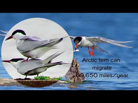 Migration - The seasonal journey - Arctic tern