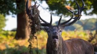Red Deer Rut - Richmond Park 2016   - Rykowisko jeleni