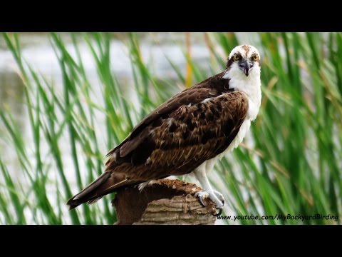 Young Ospreys Learning To Fish