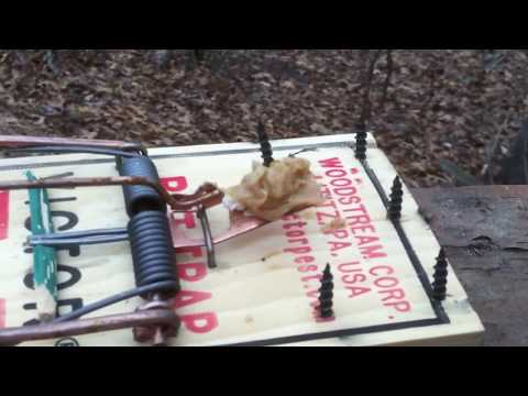 rat trap modified for squirrels 1