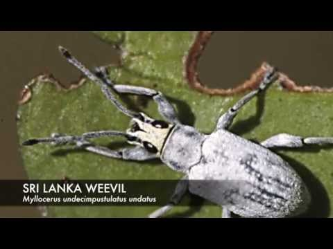 Sri Lanka Weevil Damage in Home Landscapes