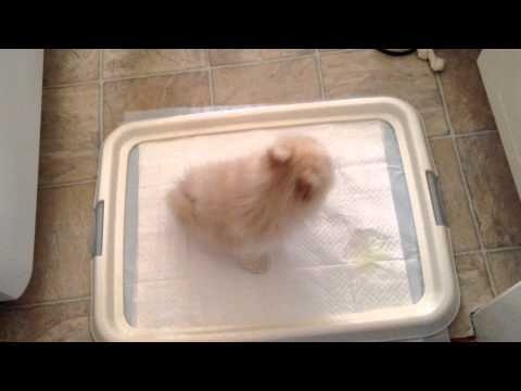 My Pomeranian Puppy Getting Potty Trained! ~ Part 1