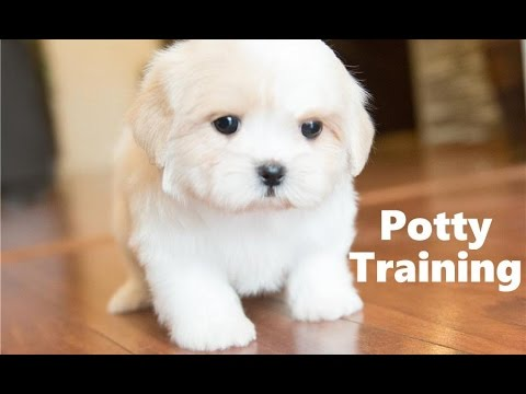 How To Potty Train A Shichon Puppy - Shichon House Training Tips - Housebreaking Shichon Puppies
