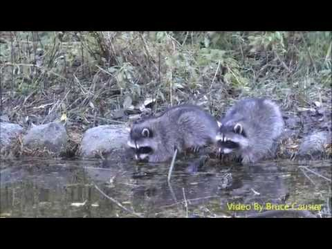 Baby Raccoons Washing Their Hands