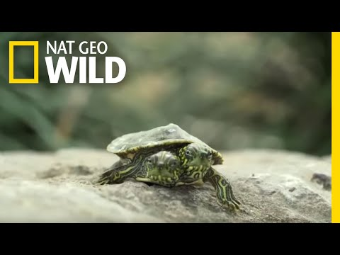What Causes Animals To Be Born With Two Heads? | Nat Geo Wild