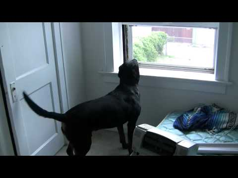 Sebastian barking out window