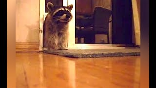 Ozzy Man Reviews: Raccoons