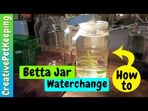 How to do a water change in a BETTA JAR