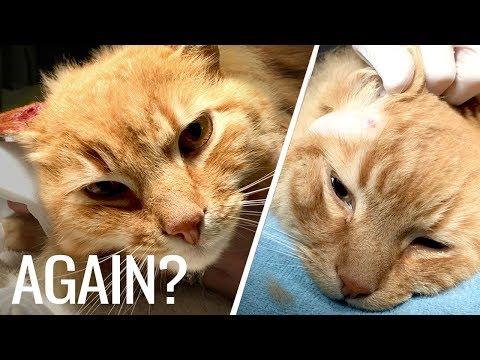 Abscess Cat - A Repeat Offender!