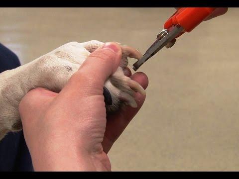 Canine Nail Trim
