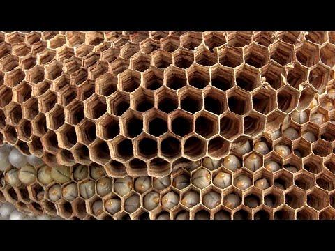 Xxx Mp4 European Hornets MASSIVE Nest Infestation In House Wasp Hornets ASMR 3gp Sex