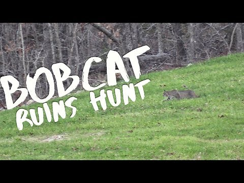 Bobcat Ruins My Hunt : Candy Shop Plot Update  S8 #59