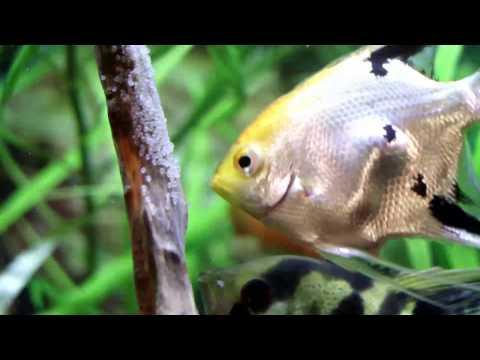 My angel fish laying eggs