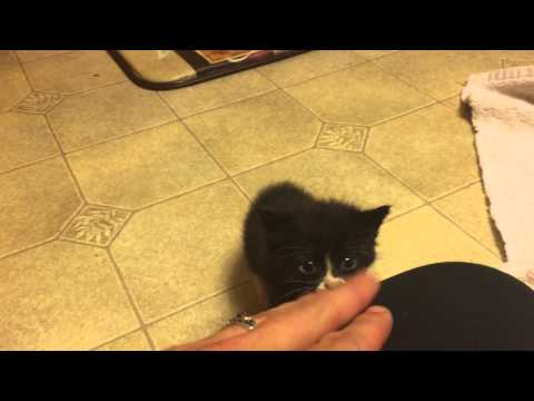 BotFly Removal from tiny kitten part 3: After removal