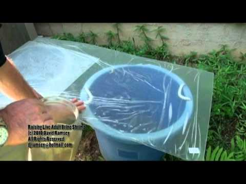 Raising Adult Brine Shrimp