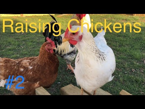FULL GUIDE To Raising Chickens: Keeping Healthy Chickens