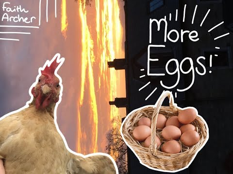 How to make your chickens lay LOTS of eggs!